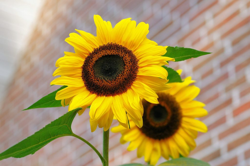 sunflower soldrom