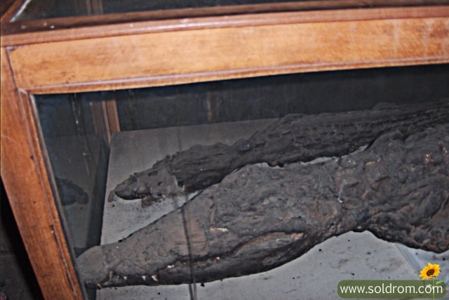 Mummified crocodiles from The Temple of Sobek in kom Ombo