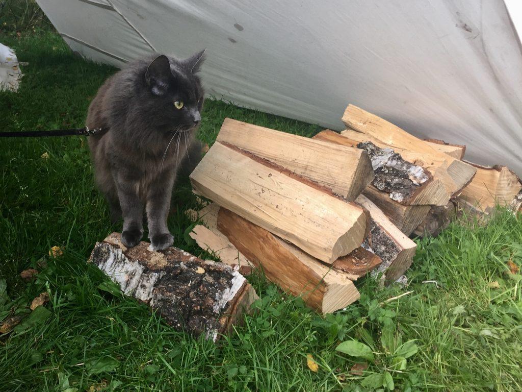 nebbursvollen viking marked cat