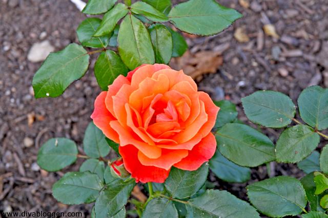 vige_rose
